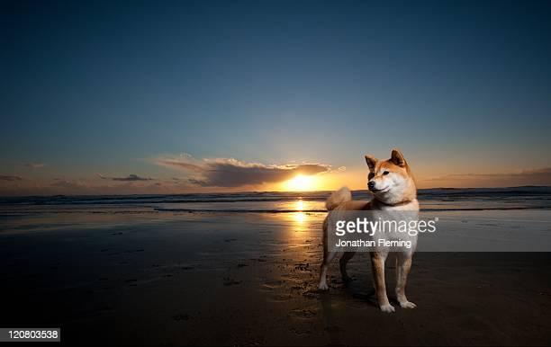 Shiba Inu dog with sunset