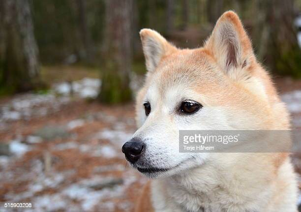 shiba inu head - shiba inu winter stock pictures, royalty-free photos & images