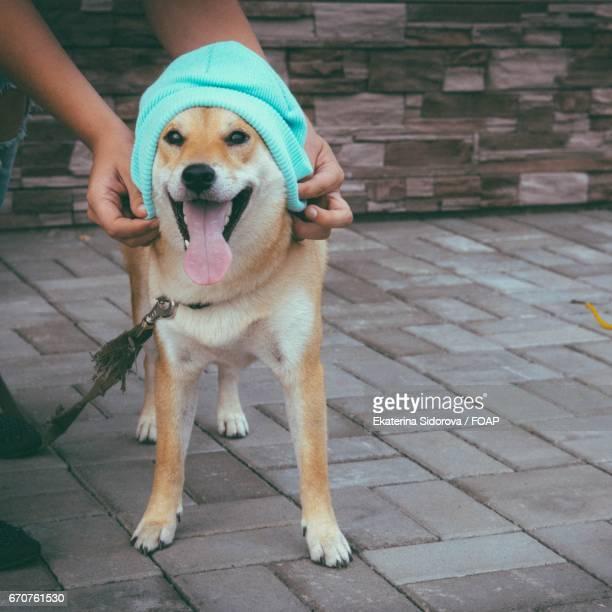 Shiba inu in a blue hat