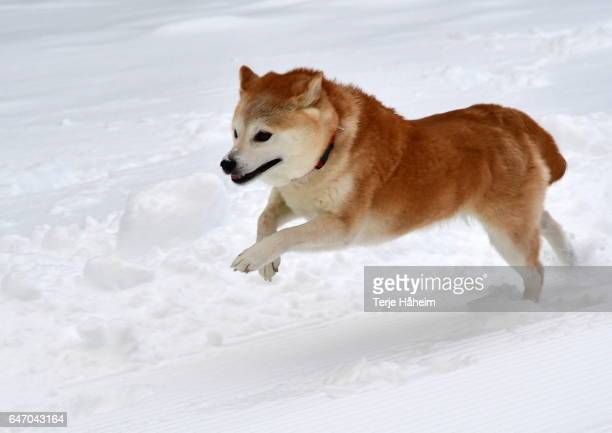 shiba inu in snow - shiba inu winter stock pictures, royalty-free photos & images