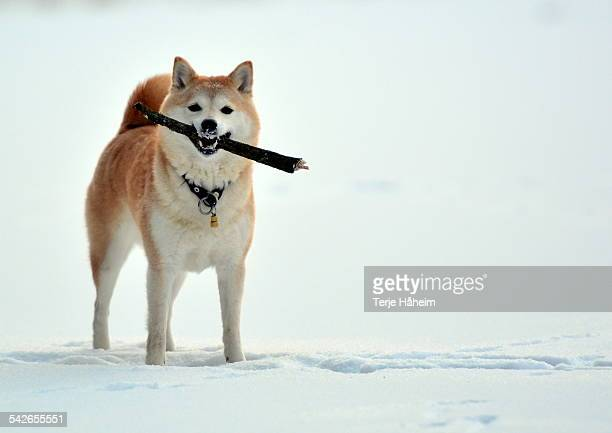 shiba inu in snow with a stick - shiba inu winter stock pictures, royalty-free photos & images