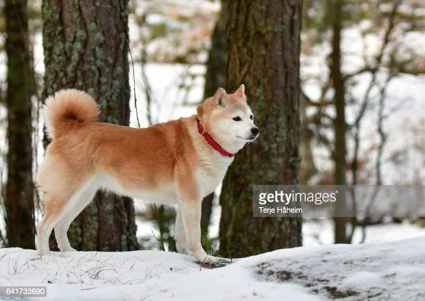 shiba inu in the snow - shiba inu winter stock pictures, royalty-free photos & images