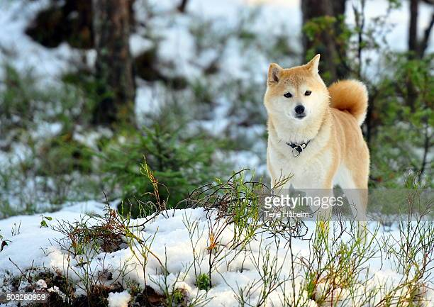 shiba inu in winter - shiba inu winter stock pictures, royalty-free photos & images