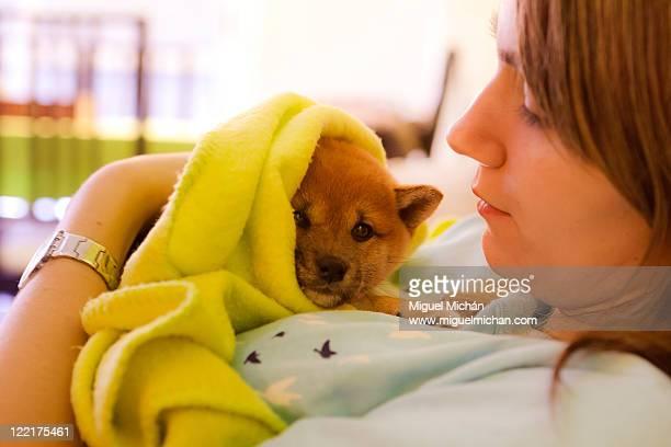 Shiba Inu little dog puppy