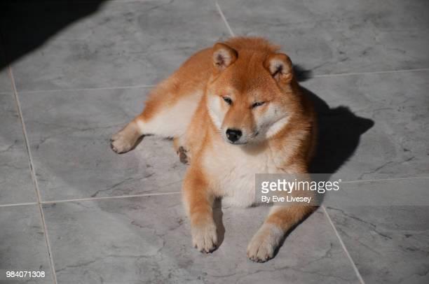 Shiba Inu Lying on a Marble Floor