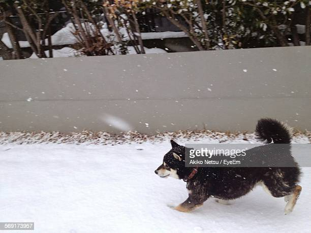 shiba inu on snow covered field - shiba inu winter stock pictures, royalty-free photos & images