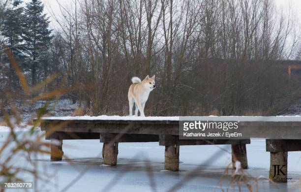 shiba inu on snow covered pier - shiba inu winter stock pictures, royalty-free photos & images