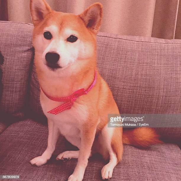 Shiba Inu On Sofa At Home
