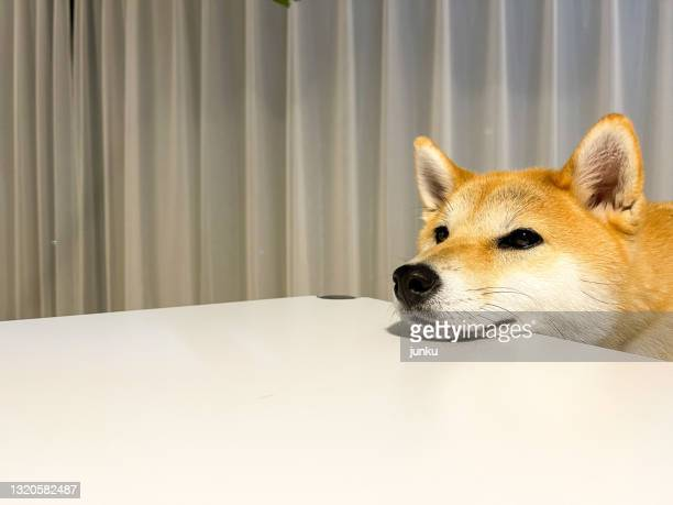 shiba inu - japanese spitz stock pictures, royalty-free photos & images
