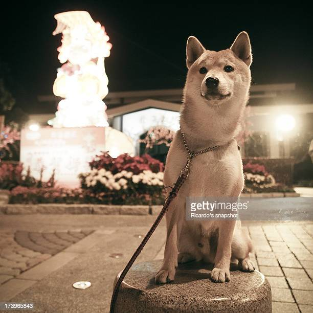 shiba inu - shiba inu lights stock pictures, royalty-free photos & images