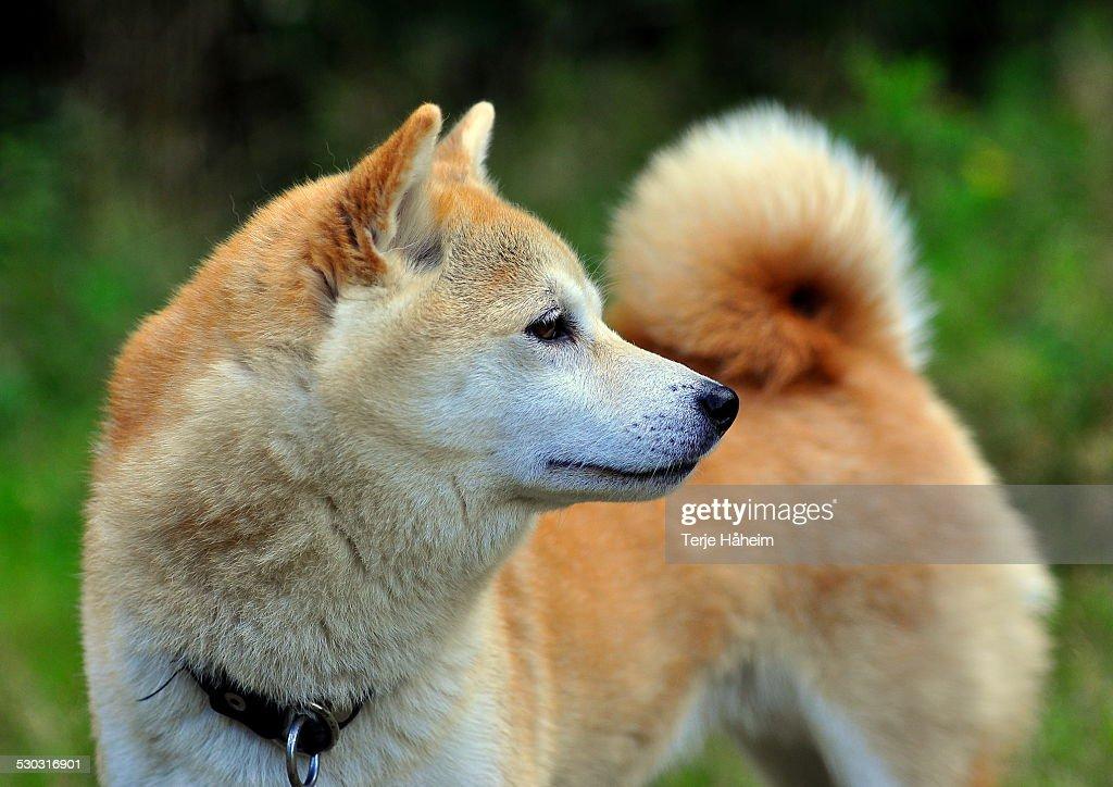 Shiba Inu : Stock-Foto