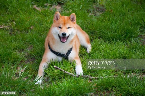 Shiba Inu Pupply lying in the grass