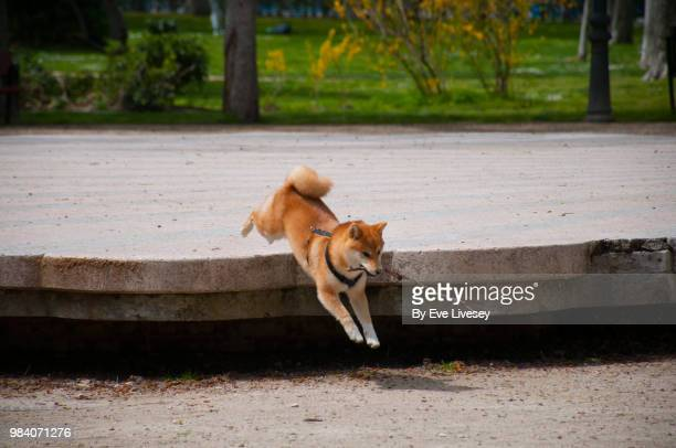 Shiba Inu Puppy jumping down from a platform in the park