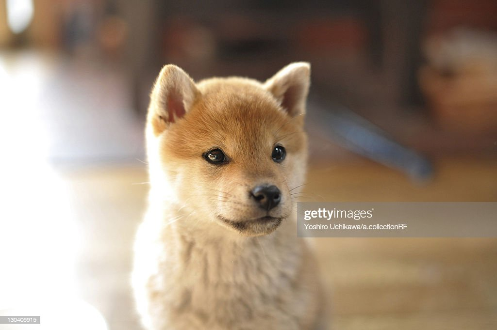Shiba Inu puppy : Stock-Foto