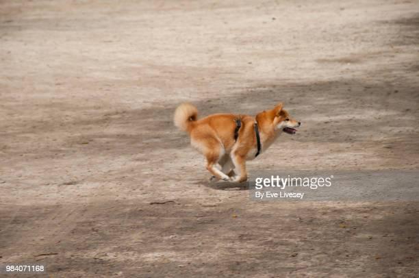 Shiba Inu Puppy running in the park