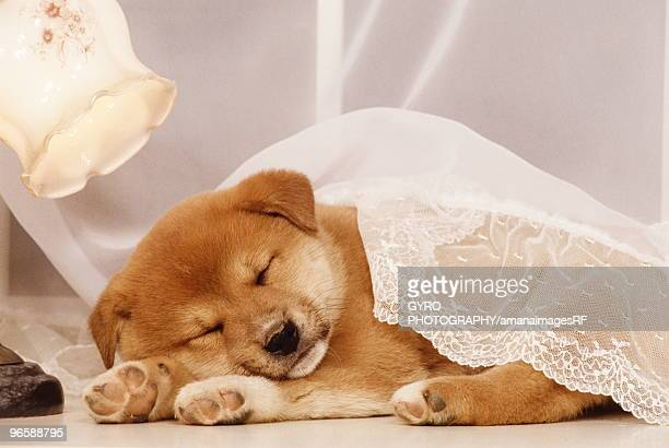shiba inu puppy sleeping under a net curtain - shiba inu lights stock pictures, royalty-free photos & images