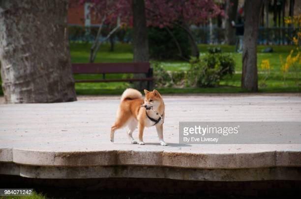 Shiba Inu Puppy walking in the park