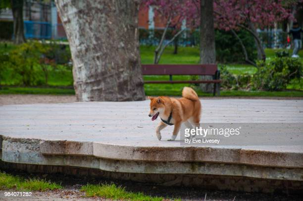 Shiba Inu Puppy walking off the lead in a city park.