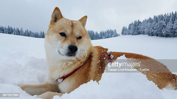 Shiba Inu Relaxing On Snow Covered Field