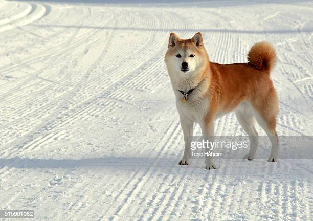 shiba inu running i snow - shiba inu winter stock pictures, royalty-free photos & images