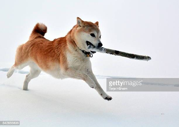 shiba inu running in snow with a stick - shiba inu winter stock pictures, royalty-free photos & images