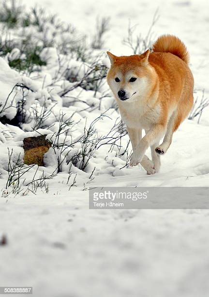 shiba inu running in the snow - shiba inu winter stock pictures, royalty-free photos & images