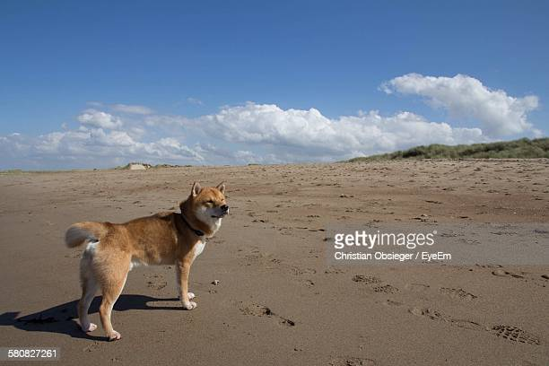 Shiba Inu Standing On Wet Sand Against Cloudy Sky