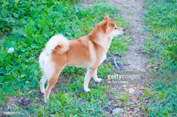 shiba inu standing side view - shiba inu winter stock pictures, royalty-free photos & images