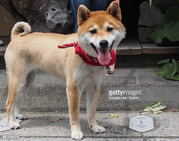 Shiba Inu Sticking Out Tongue While Standing On Street