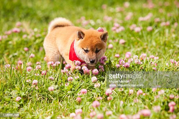 Shiba Inu sunny day, puppy in the grass