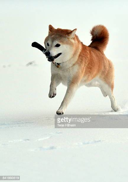 shiba inu with a stick - shiba inu winter stock pictures, royalty-free photos & images