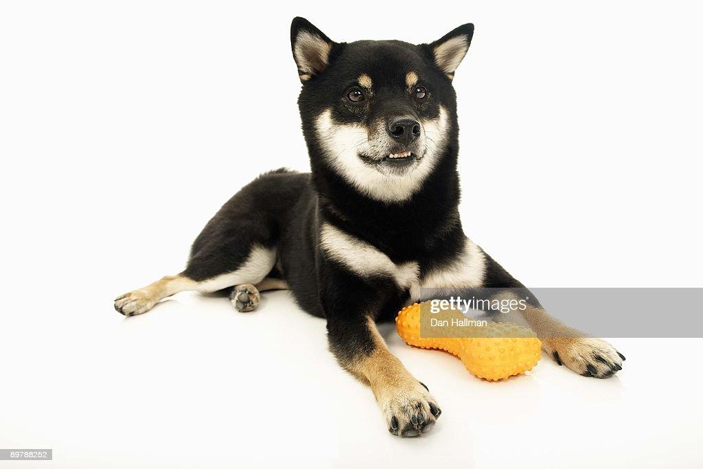 Shiba Inu with toy bone : ストックフォト