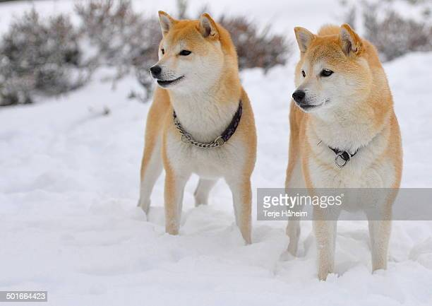 shiba inu's in the snow - shiba inu winter stock pictures, royalty-free photos & images