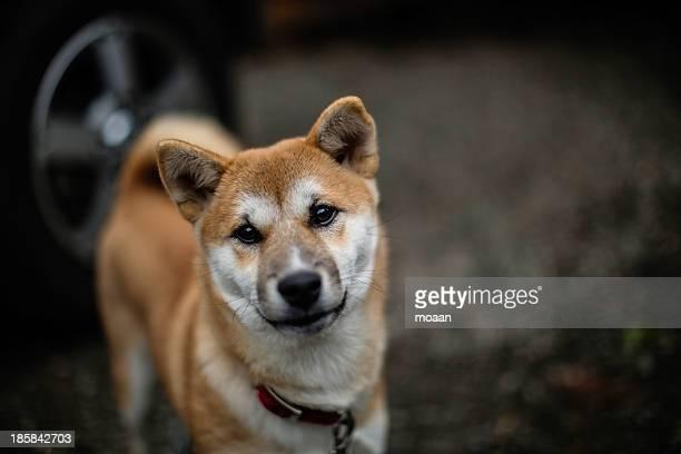 shiba mixed breed dog - mutsu imagens e fotografias de stock