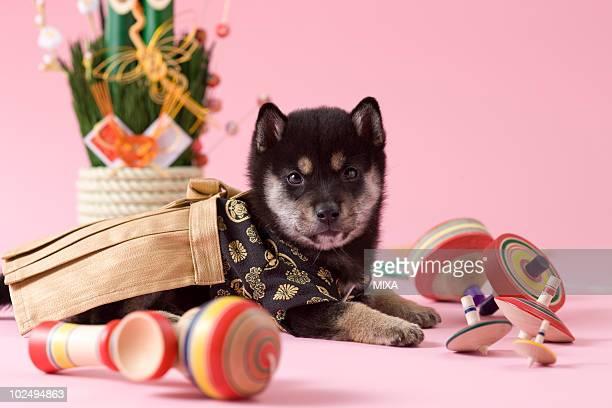 Shiba Puppy and Japanese New Year Celebration