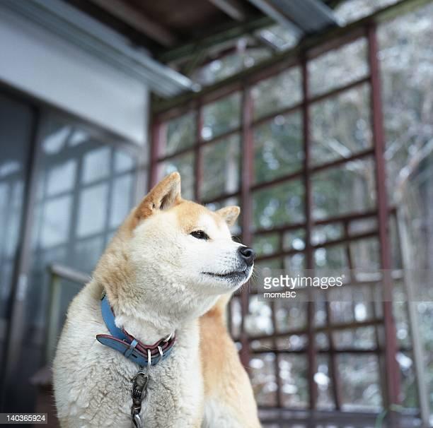 Shibainu dog standing near window