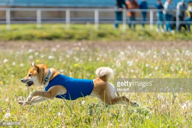柴犬のレースで実行します。