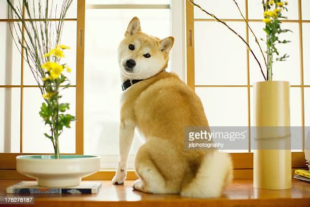 shibaken dog