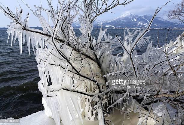 ShibukiGori formed by lake water splashes and frozen around tree branches is seen at Lake Inawashiro on Janaury 7 2013 in Inawashiro Fukushima Japan