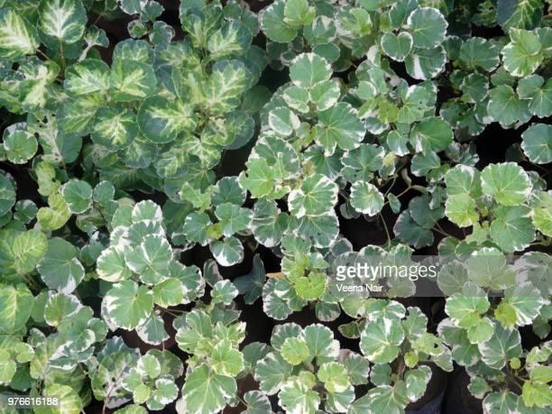 Shield Aralia (Polyscias scutellaria)