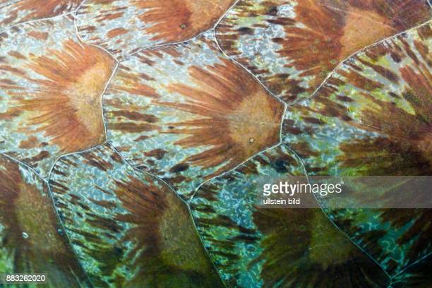 Shield of Green Sea Turtle Chelonia mydas Komodo National Park Indonesia