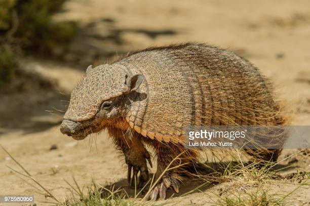 shield - armadillo stock pictures, royalty-free photos & images
