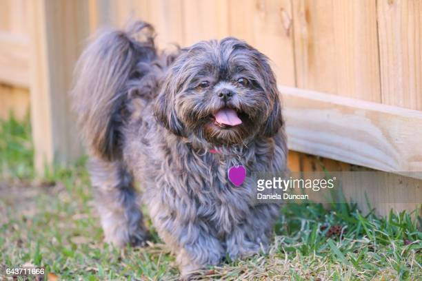 Shih Tzu by the fence