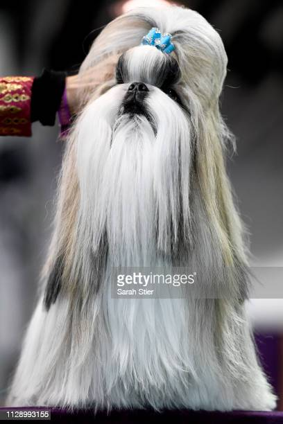 Shih Tzu competes in Breed Judging during the 143rd Westminster Kennel Club Dog Show at Piers 92/94 on February 11 2019 in New York City