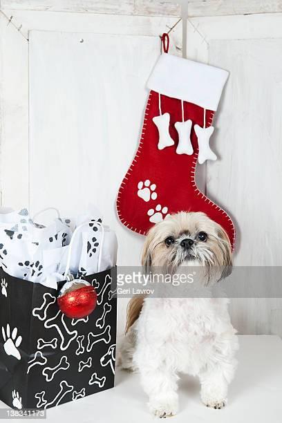 Shih Tzu dog by shopping bag and stocking