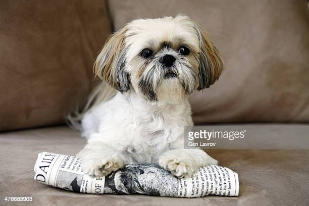 Shih tzu dog lying on a newspaper