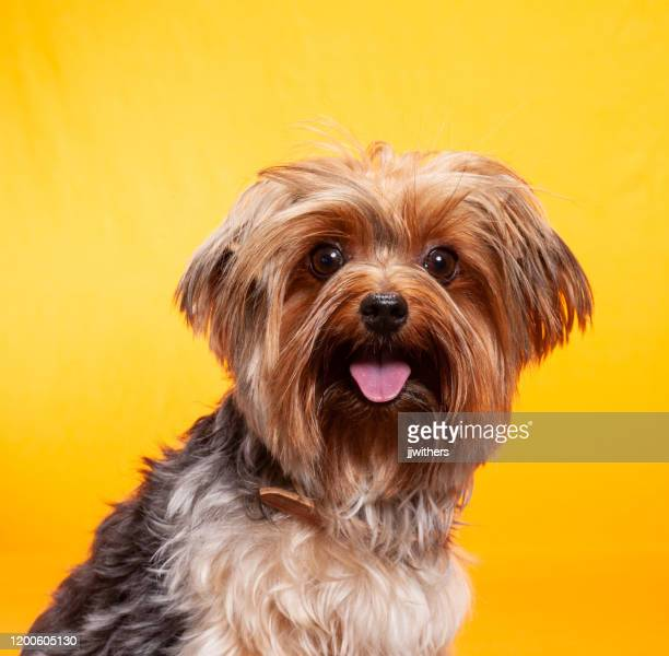 shih tzu dog photographed portrait style against a yellow backdrop - dog breeds stock pictures, royalty-free photos & images