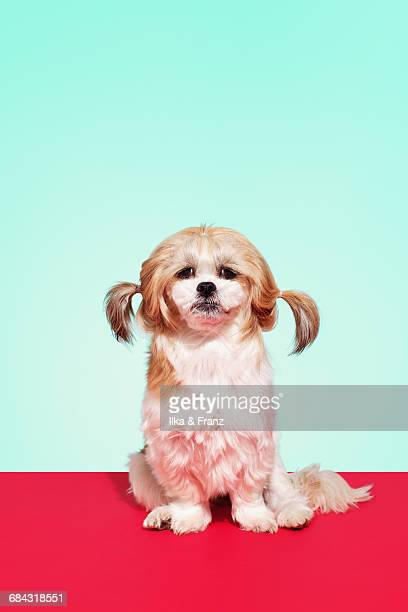 shih tzu dog - groom stock pictures, royalty-free photos & images