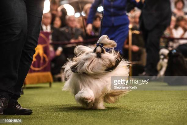 Shih Tzu dog runs during the annual Westminster Kennel Club dog show on February 10 2020 in New York City The 144th annual Westminster Kennel Club...