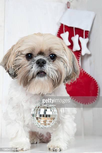 Shih Tzu dog wearing a disco ball by a stocking